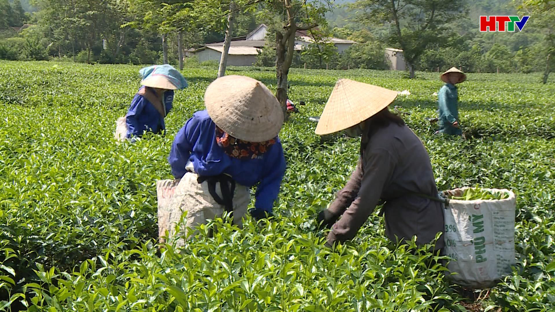 Hương Khê: Sản lượng chè búp tươi đạt trên 300 tấn